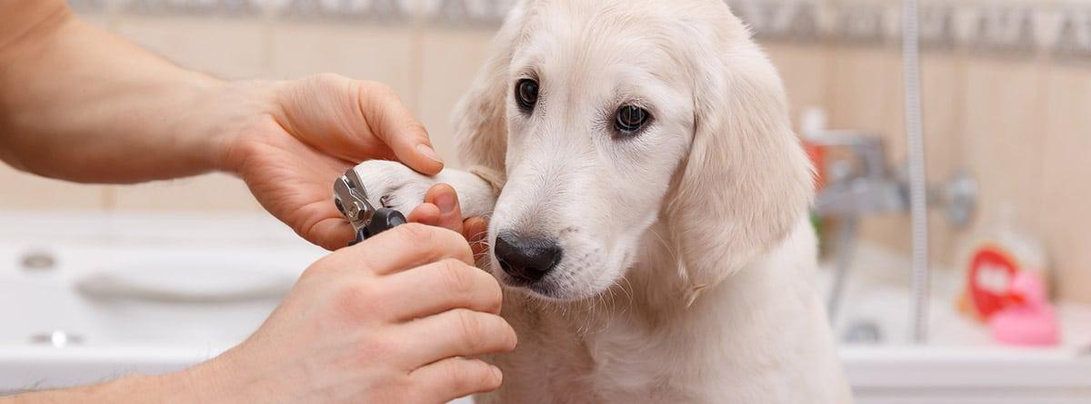 Cachorro de raza labrador espera paciente mientras le cortan las uñas