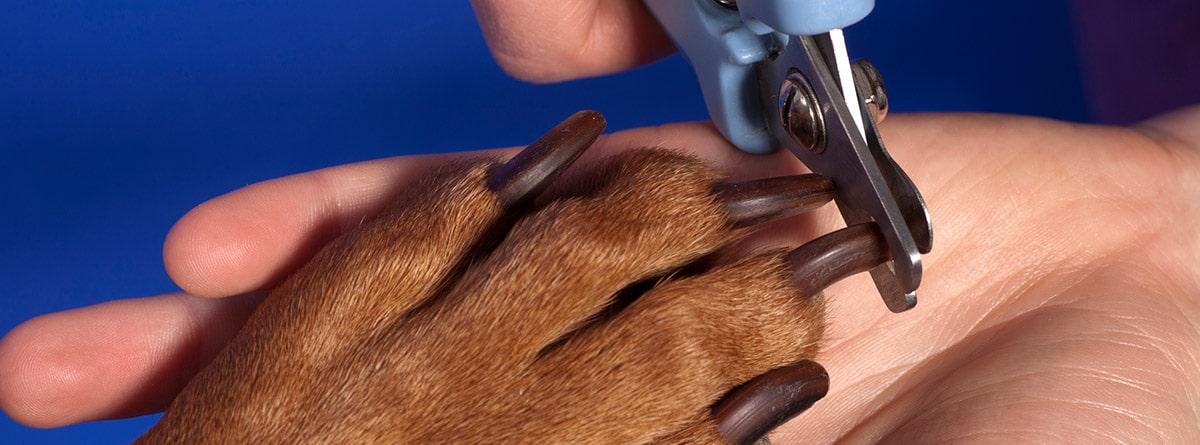 Cachorro de raza labrador espera paciente mientras le cortan las uñas.