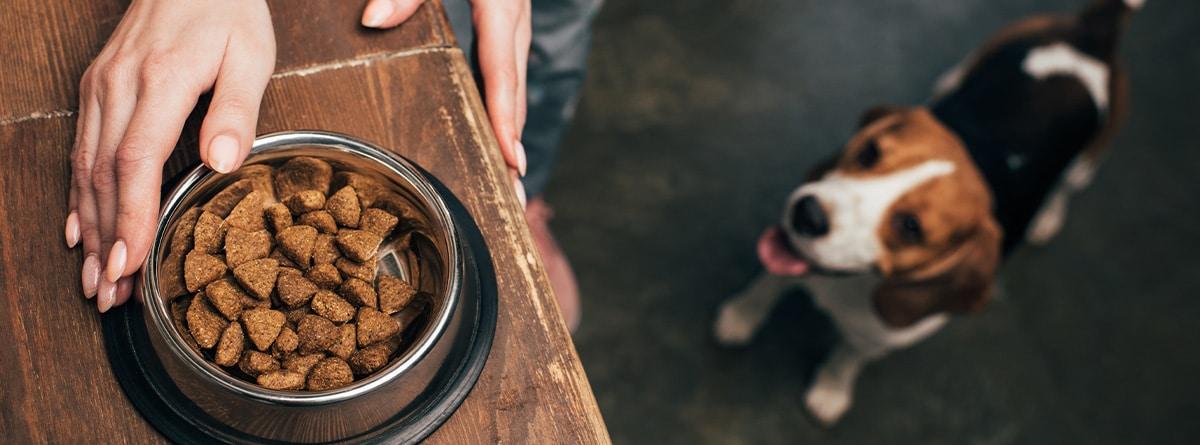 Perro de raza Beagle espera su ración de pienso.
