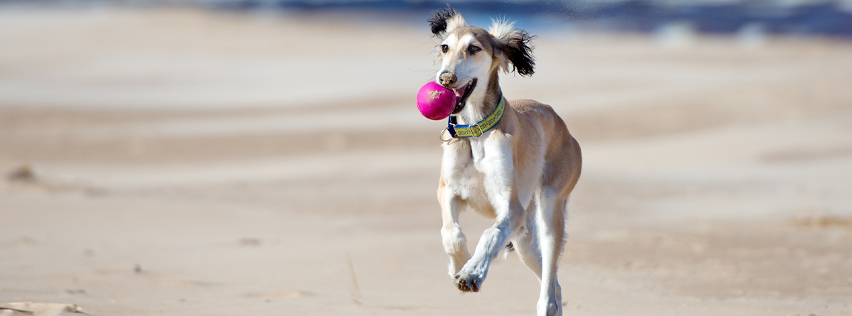 Perro de raza Saluki corriendo sobre la arena