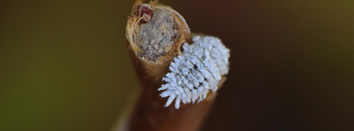 Cochinilla algodonosa (Planococcus citri)