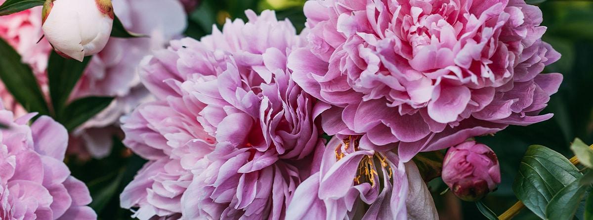 Peonías rosas en el exterior