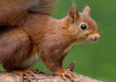 Una ardilla marrón apoyada sobre la rama de un árbol