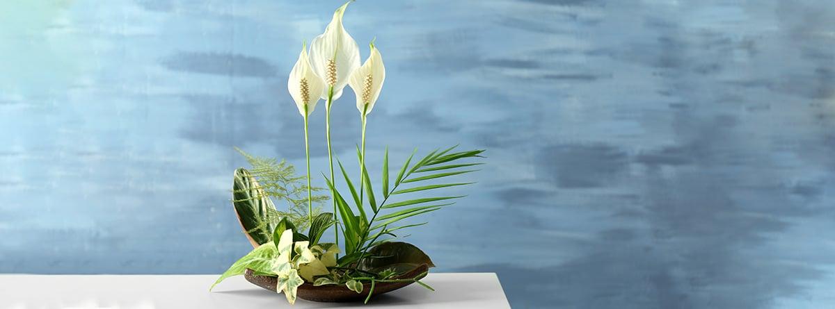 Spathiphyllum sobre una mesa y fondo azul