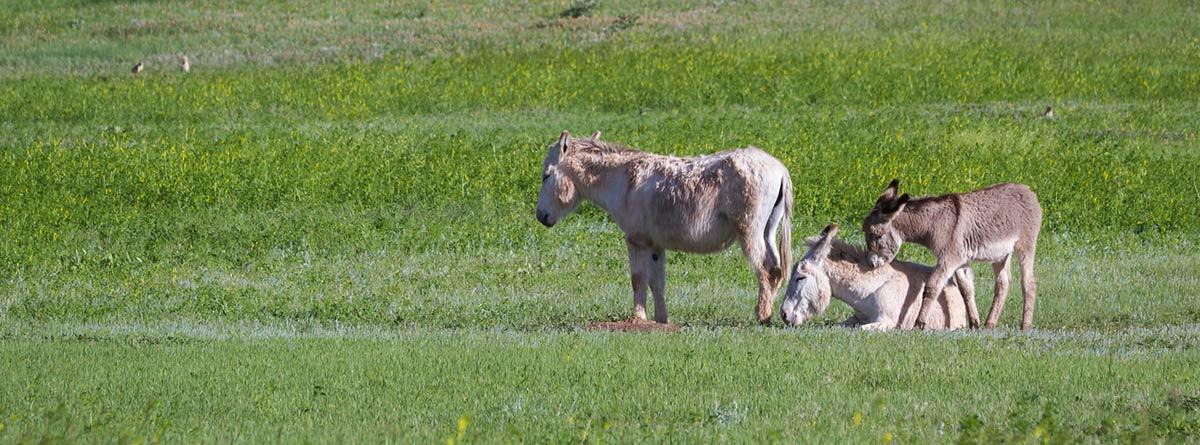 Familia de burros en el campo