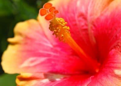 Primer plano de una flor de hibisco en naranja y rojo