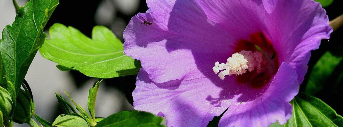 Flor de hibisco morada