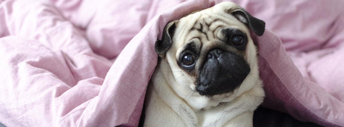 Perro de raza carlino debajo de un edredón rosa.