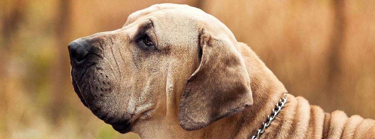 Un perro de raza Fila brasileiro color marrón.