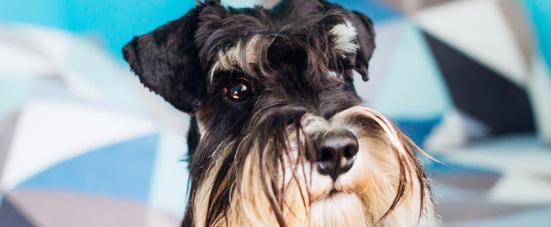 ¿Se deben cortar los bigotes a un perro?