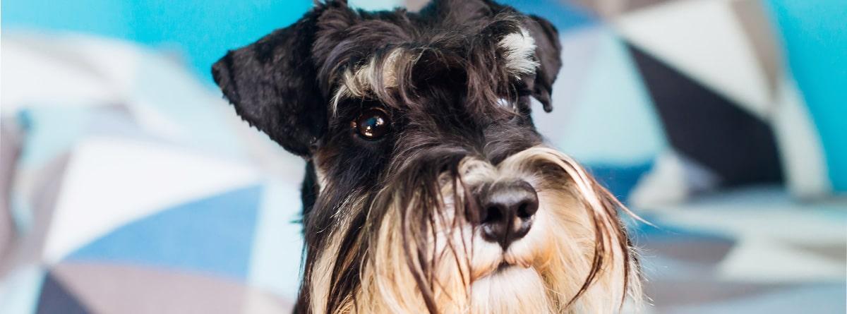 Perro de raza schnauzer color blanco y negro.
