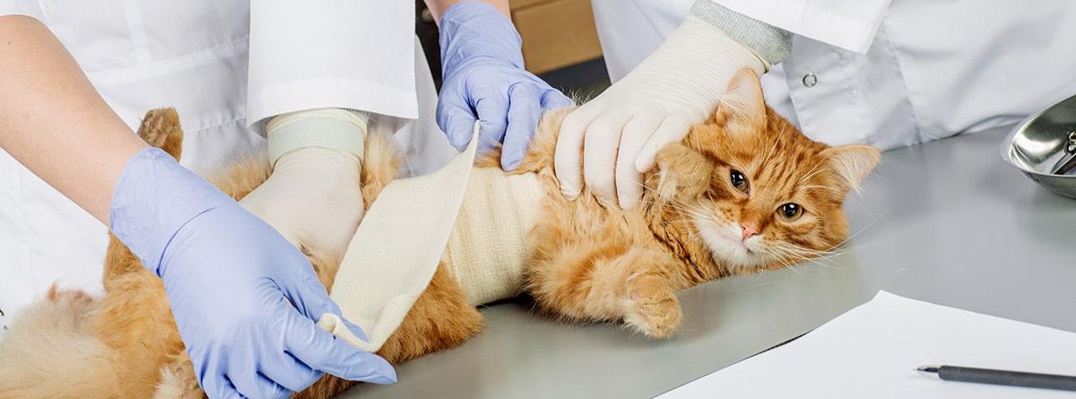 Gato vendado después de una intervención en el veterinario