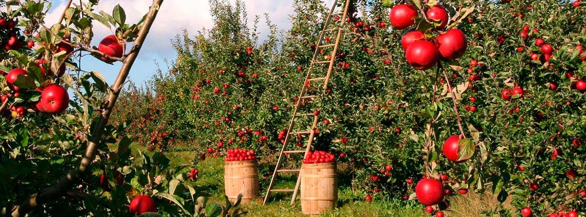 Campo con varios manzanos
