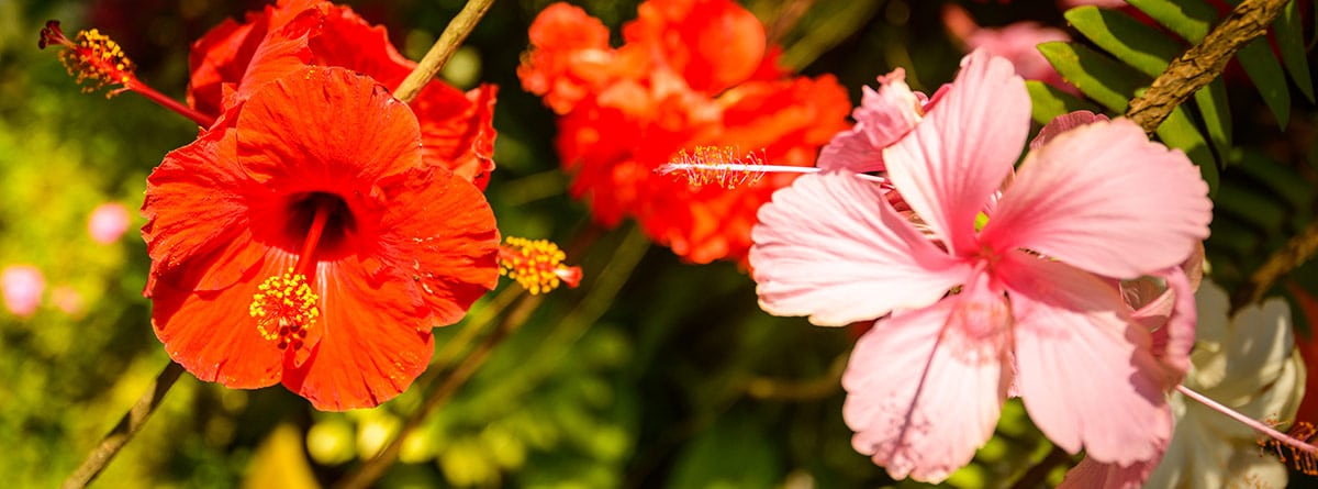 Flores de hibiscus de diferentes tonalidades