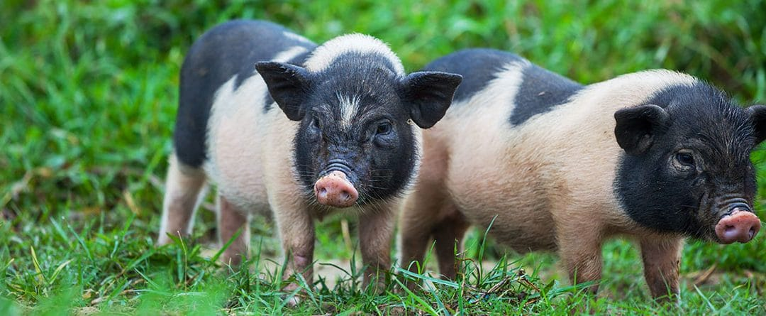 El cerdo vietnamita, la mascota exótica
