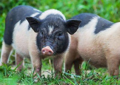 2 crías de cerdos vietnamitas