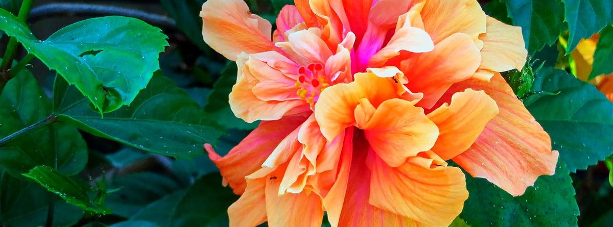Flores naranjas de hibiscus